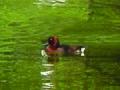 Ferruginous Duck Aythya nyroca by Dr. Raju Kasambe.jpg