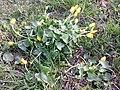 Ficaria calthifolia sl18.jpg