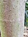 FicusDamnaropsis BotGartenMelbourne-20171124-3.jpg