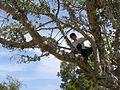 Ficus sycomorus Ashkalon 1.jpg