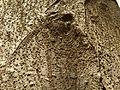 Ficus thonningii, bas, e, Manie van der Schijff BT.jpg