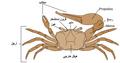 Fiddler crab anatomy-ar.png