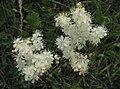 Filipendula vulgaris 3 RF.jpg