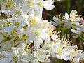 Filipendula vulgaris enfoque 2011-5-14 SierraMadrona.jpg