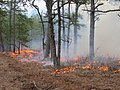Fire Maintains Pitch Pine Habitats (7060826945).jpg