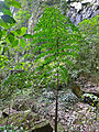 Fishtail Palm (Caryota no) young shoot (15504650622).jpg