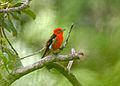 Flame-colored Tanager (Piranga bidentata) (5198912360).jpg