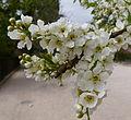 Fleurs de pommier.JPG