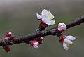 Fleurs de pommier - Jardin des Plantes.jpg
