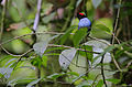 Flickr - Rainbirder - Long-tailed Manakin (Chiroxiphia linearis) in habitat (1).jpg
