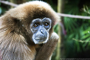 Lar gibbon - The close-up of head