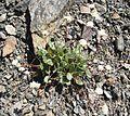 Flickr - brewbooks - Eriogonum pyrolifolium (1).jpg
