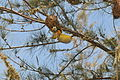 Flickr - fr.zil - Oiseau tisserand (mâle) (3).jpg