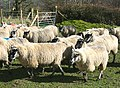 Flock of Sheep near Llanwrtyd Wells - geograph.org.uk - 353202.jpg