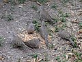 Flock of inca doves eating bird seeds 2.jpg