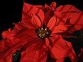 Flor de pascua - 2013 - Euphorbia pulcherrima (11566145156).jpg