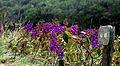 Flores a caminha da Janela do céu Ibitipoca Minas Gerais.jpg
