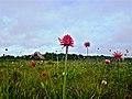 Flores di Inirida.jpg