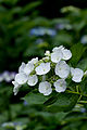 "Flower, Hydrangea ""Inukorinanagi"" - Flickr - nekonomania (1).jpg"