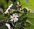 Flower & flower buds I IMG 2257.jpg