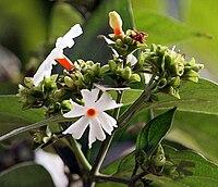 Flower & flower buds I IMG 2257