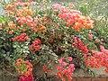 Flower of kaduna 01.jpg