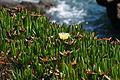 Flower west of the Lizard (8139).jpg