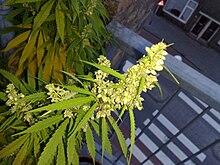 Mature male pot plant