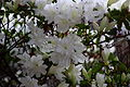 Flowers-spring-azalea-white - West Virginia - ForestWander.jpg