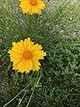 Flowers of Coreopsis lanceolata 20180517-2.jpg