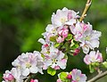 Flowers of Malus domestica (26).jpg