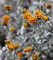 Flowers on Bridges Island (5524824107).jpg