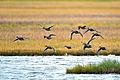 Flying Pintails (9514109640).jpg
