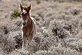 Foal (19358152023).jpg