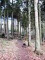 Footpath between tall fir trees - geograph.org.uk - 1202160.jpg