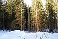 Forest - panoramio - Leszek Szleg.jpg