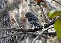 Forest Owlet Athene blewitti by Dr. Raju Kasambe DSCN5055 (8).jpg