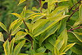 Forsythia -intermedia-golden-times2.JPG