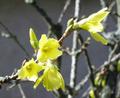 Forsythia europaea, Waldsieversdorf.png