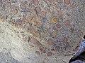 Fossiliferous sandstone (Byer Sandstone, Lower Mississippian; Dugway Outcrop, Newark, Ohio, USA) 7 (32767575185).jpg