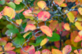 Fothergilla in Autumn NBG LR.png