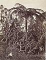 Fougère arborescente MET DP144487.jpg