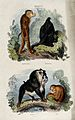 Four baboons; pigtailed baboon, black baboon, mandrill, and Wellcome V0020808.jpg