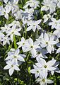 Frühlingsstern (Ipheion uniflorum) 1.jpg