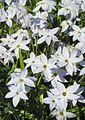 Frühlingsstern (Ipheion uniflorum) 1.jpg