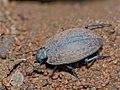 Frantic Tortoise Beetle (Zophosis testudinaria) (11801650743).jpg