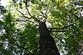 Fraxinus excelsior Arboretum Robert Lenoir.jpg