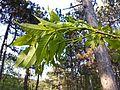 Fraxinus ornus (subsp. ornus) sl13.jpg