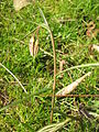 Fritillaria meleagris bud03.jpg
