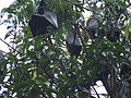 Fruit bats, Cairns.JPG